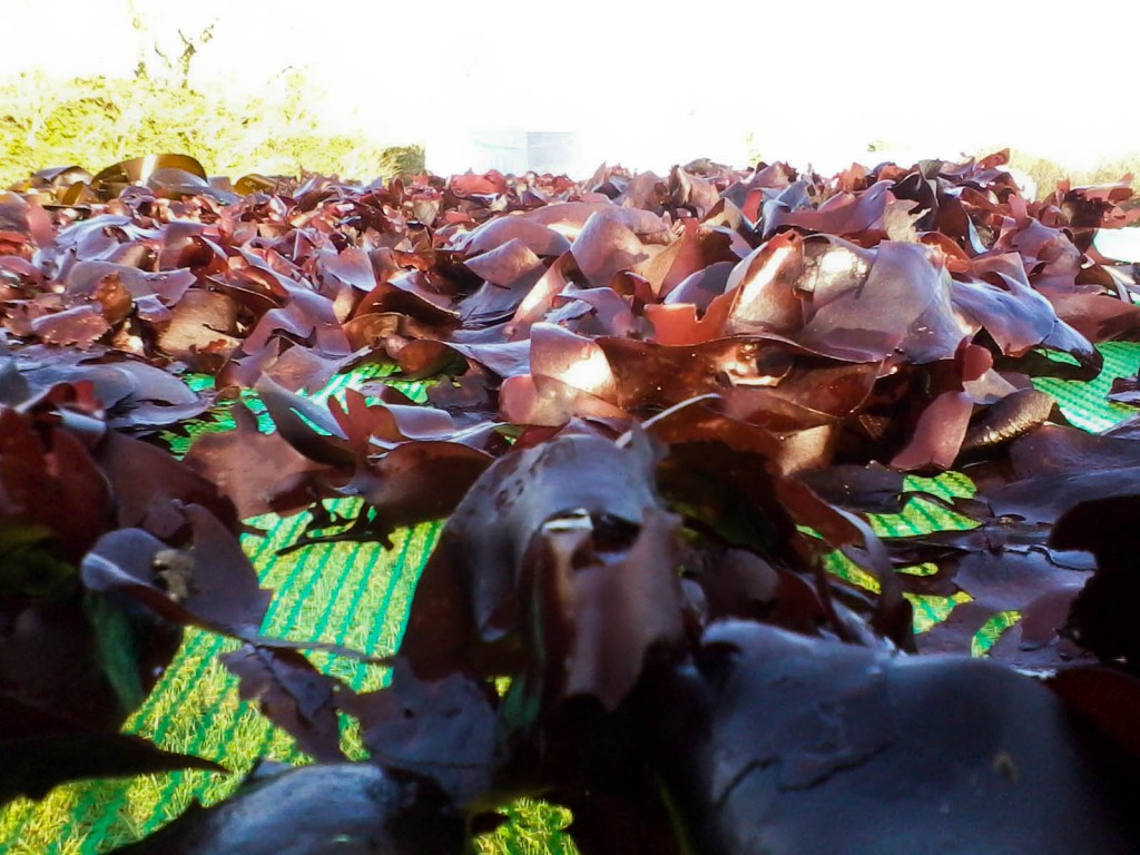 We harvest and then dry seaweed from clearwater
