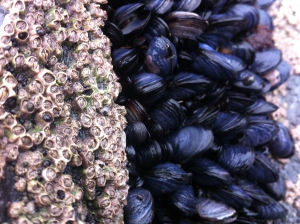 Seaweed can males rocks slippery, barnacles help grip